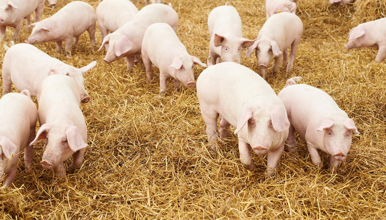 Linia de  Porc