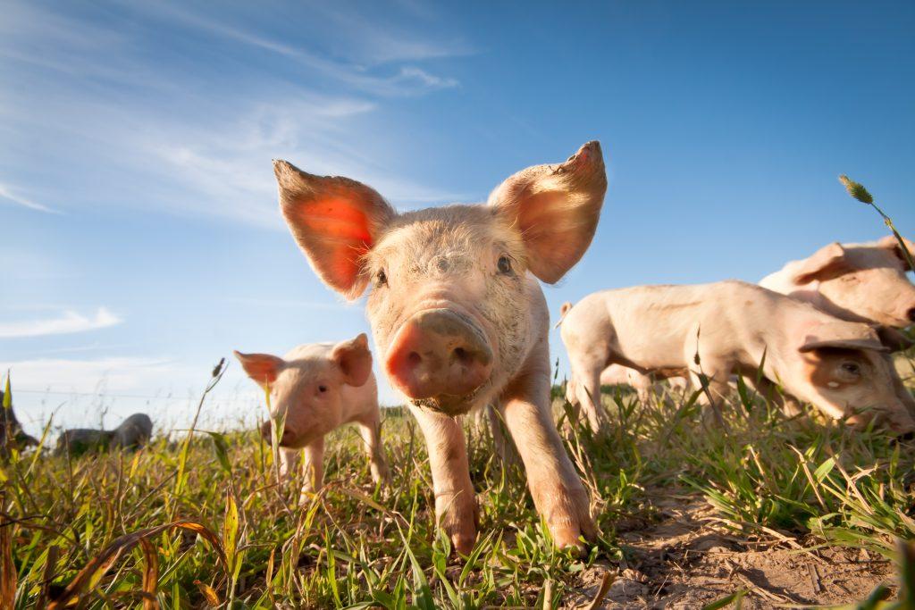 Cele mai cunoscute rase de porci printre fermieri