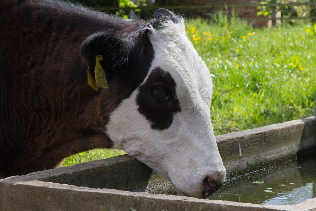 Cum se hrănesc vitele în fermă